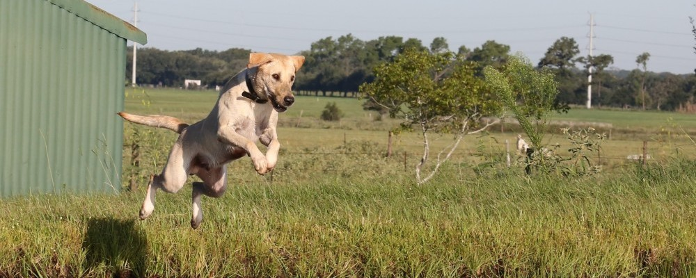 Hunting Dog Training College Station